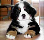 about bernese breeders and rescue