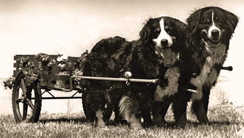 carting dogs